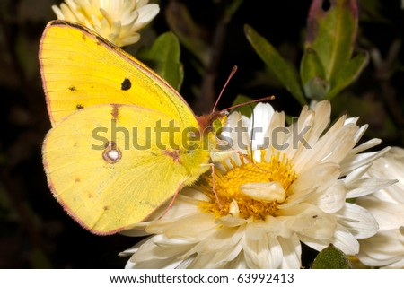 Pale Clouded yellow butterfly on a white flower / Colias hyale - stock photo