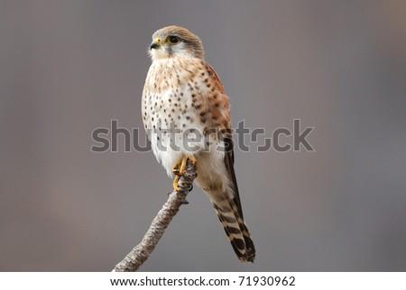 Pale Phase Madagascar Kestrel (Falco newtoni) in the Anja Reserve, central Madagascar - stock photo