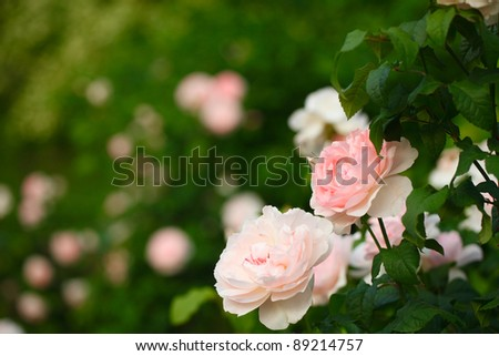 Pale pink roses in Central Park, New York. - stock photo