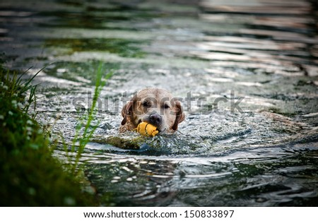 pale yellow labrador retriever outdoors, swimming, playing, having fun, - stock photo