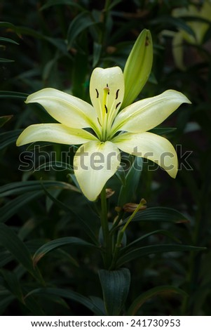 Pale Yellow Lilly Flower - stock photo