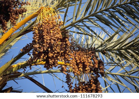 Palm branches with ripe dates, from a date palm (Phoenix dactylifera), Sahara desert, Morocco. - stock photo