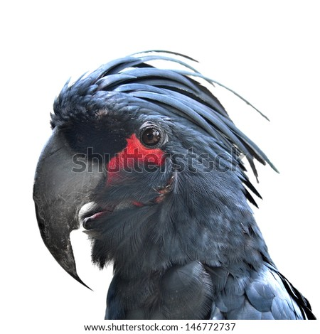 Palm Cockatoo, Probosciger aterrimus, also known as the Goliath Cockatoo, in front of white background  - stock photo