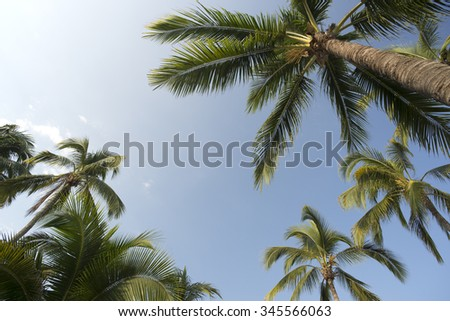 Palm, coconut palm trees - stock photo