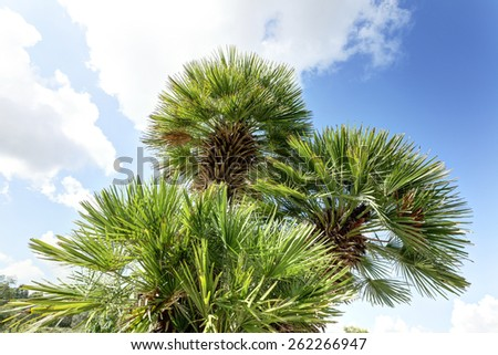 Palm crown of a palm tree that looms against the blue sky. - stock photo