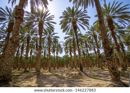 Palm forest in Israel, Dead Sea - stock photo