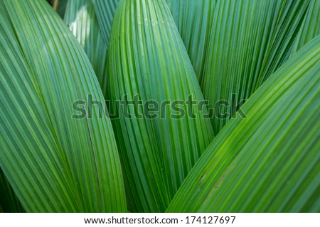 palm leaf, palm leaves texture in nature layer  - stock photo