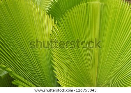 palm leafs - stock photo
