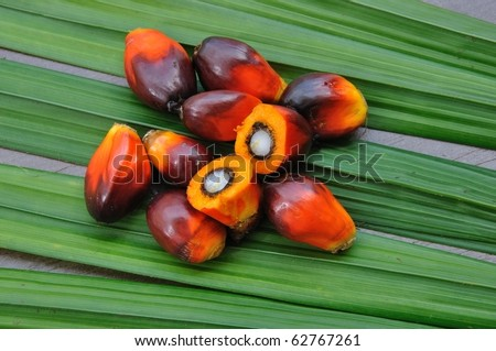 Palm Oil fruits in the Palm tree leaf background. - stock photo