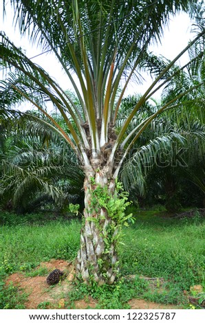 Palm oil plantation - stock photo