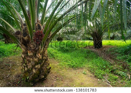 Palm oil plantations - stock photo