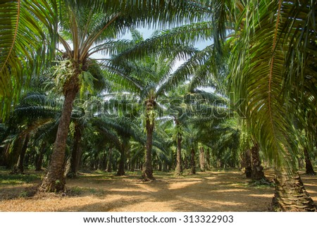Palm oil tree plantations, Thailand - stock photo