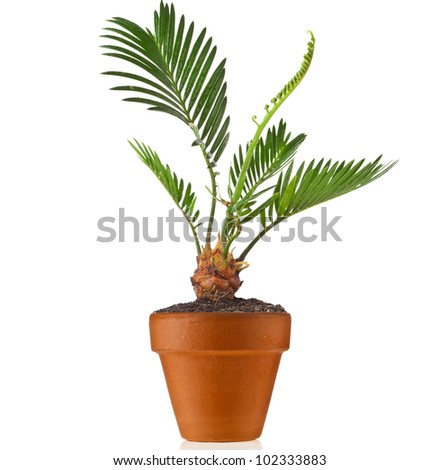 palm tree in flowerpot on white background - stock photo