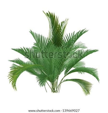 Palm tree isolated. Chamaedorea cataractum - stock photo