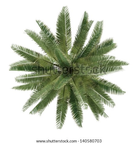 Palm tree isolated. Jubaea chilensis top view - stock photo