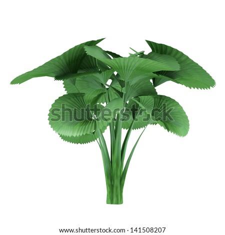 Palm tree isolated. Licuala orbicularis - stock photo