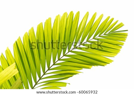 Palm tree leaf - stock photo