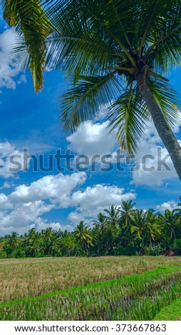 Palm tree on the background of rice field near town Ubud on Bali in summer sunny day - stock photo