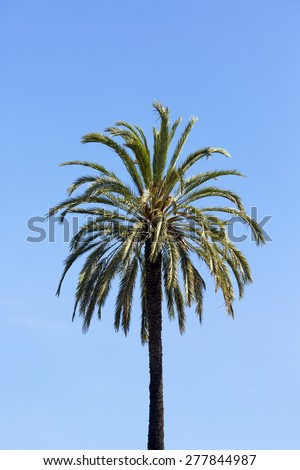 Palm tree standing alone against the blue sky. - stock photo