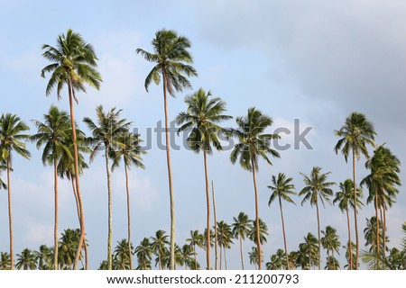 Palm Tree, Vanuatu - stock photo