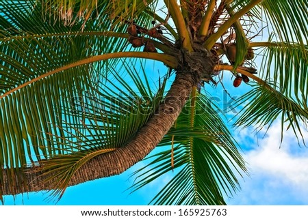 Palm tree with coconut close up, Maldives, The Indian Ocean - stock photo