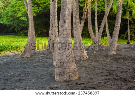 Palm trees growing in black lava sand in Hawaii - stock photo