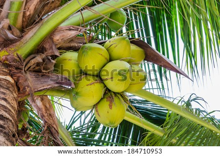 Palm trees with coconut on the beach travel  attractions. - stock photo