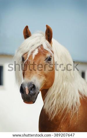 Palomino Haflinger horse portrait outdoors - stock photo