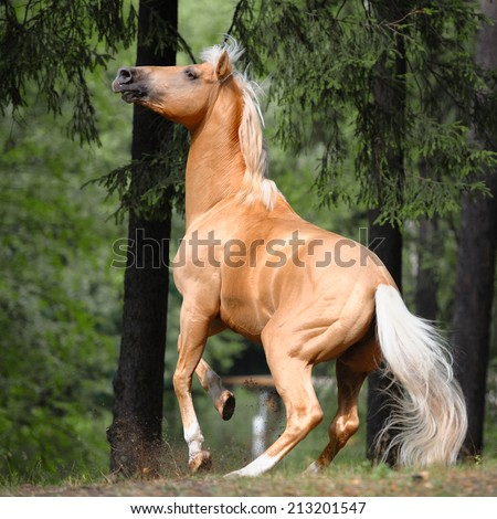 palomino horse rears up in a pine forest - stock photo