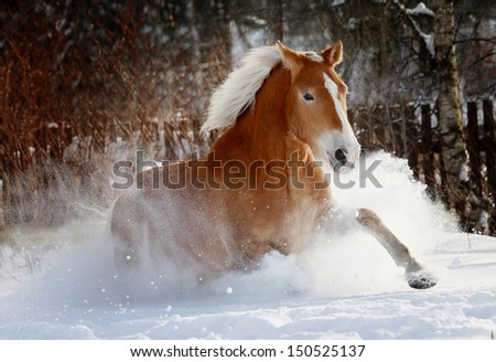 palomino horse running in snow - stock photo