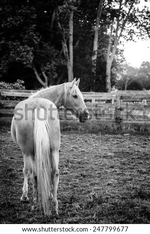 Palomino horse standing by the fence at sunset - stock photo