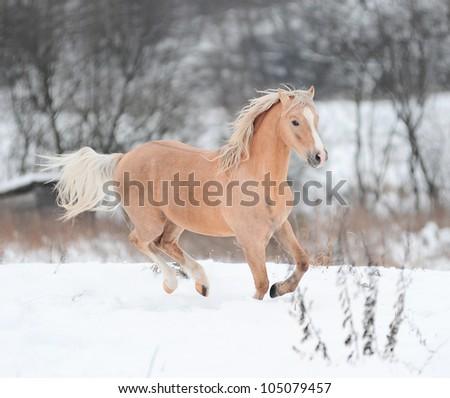 palomino pony - stock photo