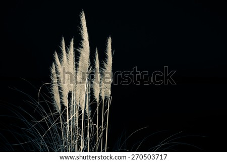 Pampas flower split toned isolated on black background. - stock photo