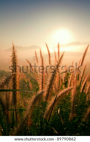 Pampas Grass with sunlight - stock photo