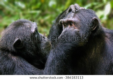 Pan troglodytes - Commun eastern chimpanzees, grooming each other in Kibale National Park, Uganda. - stock photo