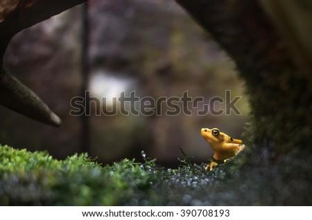 Panamanian Golden Frog *Sharp*  - stock photo