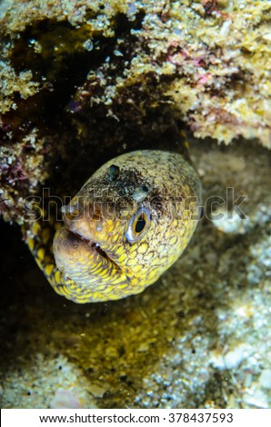 Panamic Green Moray Eel (Gymnothorax castaneus), mouth wide open resting in reefs of the Sea of Cortez, Pacific ocean. Cabo Pulmo, Baja California Sur, Mexico. The world's aquarium. - stock photo