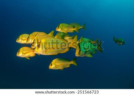 panamic porkfish, sea of cortez. Mexico. - stock photo