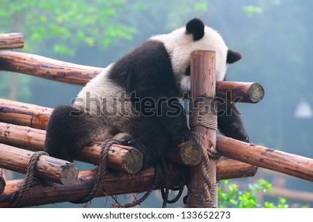 Panda bear in funny ( frustrated ) pose - stock photo