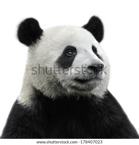 Panda bear isolated on white background - stock photo