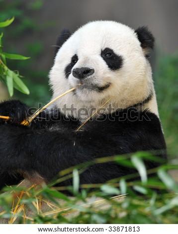 panda bear male eating bamboo, china 1 - stock photo