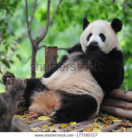 Panda bear sitting and relaxing - stock photo