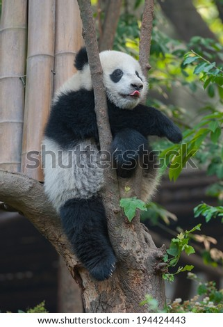 Panda bear sticking out tongue while sleeping - stock photo