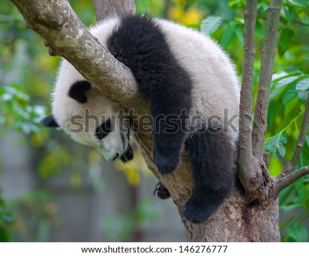 Panda bear tired and sleeping in tree - stock photo