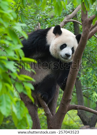 Panda climbing tree - stock photo