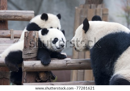 Panda cub and mother panda playing - stock photo