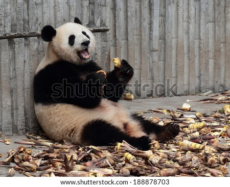 Panda eating bamboo shoots happily?Open mouth laughing?Holding food laughing - stock photo