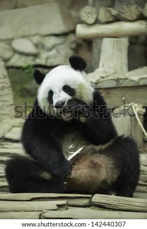 Panda in thailand - stock photo