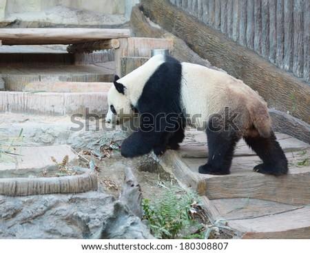 panda in the zoo Thailand, Chiang Mai - stock photo