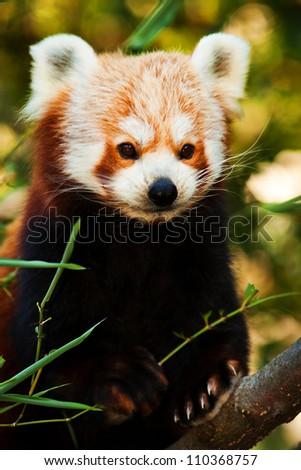 panda red - stock photo